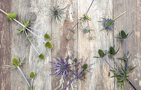 AVONDALE_NURSERIES_COVENTRY_STILL_LIFE_OF_ERYNGIUMS__JOS_EIJKING_SERBICUM_ELECTRIC_HAZE_DOVE_COTTAGE