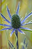 AVONDALE NURSERIES, COVENTRY: BLUE, SILVER FLOWERS OF ERYNGIUM BIG BLUE, DECIDOUS, PERENNIALS, SPIKES, SPIKEY, PRICKLY, SEA HOLLY, INSECTS