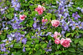 MORTON HALL, WORCESTERSHIRE: THE SOUTH GARDEN: CLEMATIS EMILIA PLATER, ROSA COMTESSE DE SEGUR, COMBINATION, ASSOCIATION, PINK, BLUE, FLOWERS, SUMMER, FLOWERING, CLIMBERS, ROSES