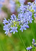 MORTON HALL, WORCESTERSHIRE: PLANT PORTRAIT OF BLUE FLOWERS OF AGAPANTHUS BLUE TRIUMPHATOR. BULBS, FLOWERING, BLOOMS, SUMMER, JULY