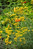 MORTON HALL, WORCESTERSHIRE: PLANT ASSOCIATION, COMBINATION - ACHILLEA TERRACOTTA, LILIUM HENRYI. FLOWERS, BULBS, PERENNIALS, SUMMER, JULY, YELLOW, ORANGE