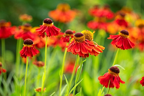 MORTON_HALL_WORCESTERSHIRE_PLANT_PORTRAIT_OF_RED_ORANGE_FLOWERS_OF_HELENIUM_INDIAN_SUMMER_PERENNIALS