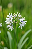 BROADLEIGH GARDENS SOMERSET: PLANT PORTRAIT OF THE WHITE, BLUE, FLOWER OF AGAPANTHUS TWISTER. FLOWERS, SUMMER, BULBS, FLOWERING, HERBACEOUS, PERENNIALS, AFRICAN LILY