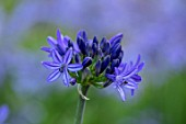 BROADLEIGH GARDENS SOMERSET: PLANT PORTRAIT OF THE BLUE FLOWER OF AGAPANTHUS NORTHERN STAR. FLOWERS, SUMMER, BULBS, FLOWERING, HERBACEOUS, PERENNIALS, AFRICAN LILY