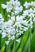 BROADLEIGH GARDENS SOMERSET: PLANT PORTRAIT OF THE WHITE FLOWER OF AGAPANTHUS JOHNNYS WHITE . FLOWERS, SUMMER, BULBS, FLOWERING, HERBACEOUS, PERENNIALS, AFRICAN LILY