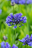 BROADLEIGH GARDENS SOMERSET: PLANT PORTRAIT OF THE BLUE FLOWER OF AGAPANTHUS SUPER STAR . FLOWERS, SUMMER, BULBS, FLOWERING, HERBACEOUS, PERENNIALS, AFRICAN LILY