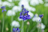BROADLEIGH GARDENS SOMERSET: PLANT PORTRAIT OF THE BLUE FLOWER OF AGAPANTHUS BRESSINGHAM BLUE . FLOWERS, SUMMER, BULBS, FLOWERING, HERBACEOUS, PERENNIALS, AFRICAN LILY