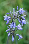 BROADLEIGH GARDENS SOMERSET: PLANT PORTRAIT OF THE BLUE FLOWER OF AGAPANTHUS CASTLE OF MEY . FLOWERS, SUMMER, BULBS, FLOWERING, HERBACEOUS, PERENNIALS, AFRICAN LILY