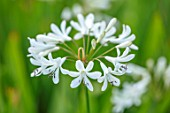 BROADLEIGH GARDENS SOMERSET: PLANT PORTRAIT OF THE WHITE  FLOWERS OF AGAPANTHUS HEADBOURNE WHITE. FLOWERS, SUMMER, BULBS, FLOWERING, HERBACEOUS, PERENNIALS, AFRICAN LILY