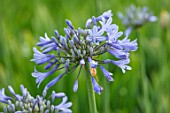 BROADLEIGH GARDENS SOMERSET: PLANT PORTRAIT OF THE BLUE FLOWERS OF AGAPANTHUS CODDII. FLOWERS, SUMMER, BULBS, FLOWERING, HERBACEOUS, PERENNIALS, AFRICAN LILY