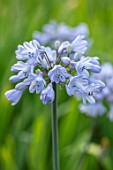 BROADLEIGH GARDENS SOMERSET: PLANT PORTRAIT OF THE BLUE FLOWERS OF AGAPANTHUS HEADBOURNE BLUE. FLOWERS, SUMMER, BULBS, FLOWERING, HERBACEOUS, PERENNIALS, AFRICAN LILY
