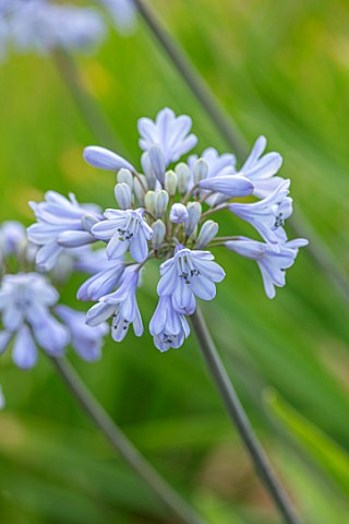 BROADLEIGH_GARDENS_SOMERSET_PLANT_PORTRAIT_OF_THE_BLUE_FLOWERS_OF_AGAPANTHUS_HEADBOURNE_BLUE_FLOWERS