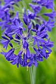 BROADLEIGH GARDENS SOMERSET: PLANT PORTRAIT OF THE DARK, BLUE FLOWERS OF AGAPANTHUS. FLOWERS, SUMMER, BULBS, FLOWERING, HERBACEOUS, PERENNIALS, AFRICAN LILY