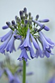 BROADLEIGH GARDENS SOMERSET: PLANT PORTRAIT OF THE BLUE, GREY FLOWERS OF AGAPANTHUS INAPERTUS PENDULUS. FLOWERS, SUMMER, BULBS, FLOWERING, HERBACEOUS, PERENNIALS, AFRICAN LILY