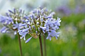 BROADLEIGH GARDENS SOMERSET: PLANT PORTRAIT OF THE BLUE, GREY FLOWERS OF AGAPANTHUS STORM CLOUD. FLOWERS, SUMMER, BULBS, FLOWERING, HERBACEOUS, PERENNIALS, AFRICAN LILY