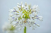 BROADLEIGH GARDENS SOMERSET: PLANT PORTRAIT OF THE BLUE, WHITE FLOWERS OF AGAPANTHUS QUEEN MUM. FLOWERS, SUMMER, BULBS, FLOWERING, HERBACEOUS, PERENNIALS, AFRICAN LILY