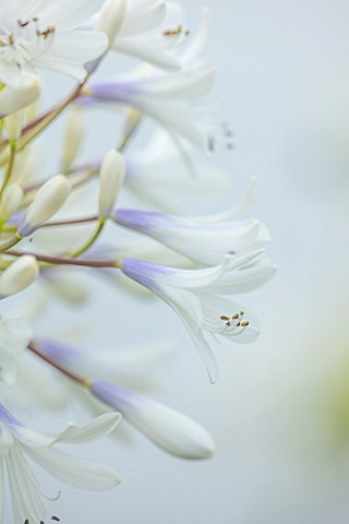 BROADLEIGH_GARDENS_SOMERSET_PLANT_PORTRAIT_OF_THE_BLUE_WHITE_FLOWERS_OF_AGAPANTHUS_QUEEN_MUM_FLOWERS