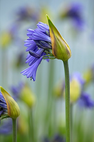 BROADLEIGH_GARDENS_SOMERSET_PLANT_PORTRAIT_OF_THE_BLUE_FLOWERS_OF_AGAPANTHUS_DYERI_FLOWERS_SUMMER_BU