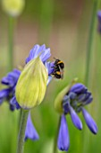 BROADLEIGH GARDENS SOMERSET: PLANT PORTRAIT OF BEE ON THE BLUE, FLOWERS OF AGAPANTHUS DYERI. FLOWERS, SUMMER, BULBS, FLOWERING, HERBACEOUS, PERENNIALS, AFRICAN LILY
