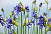 BROADLEIGH GARDENS SOMERSET: PLANT PORTRAIT OF THE BLUE, FLOWERS OF AGAPANTHUS DYERI. FLOWERS, SUMMER, BULBS, FLOWERING, HERBACEOUS, PERENNIALS, AFRICAN LILY