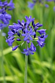 BROADLEIGH GARDENS SOMERSET: PLANT PORTRAIT OF THE BLUE, FLOWERS OF AGAPANTHUS ROYAL BLUE. FLOWERS, SUMMER, BULBS, FLOWERING, HERBACEOUS, PERENNIALS, AFRICAN LILY