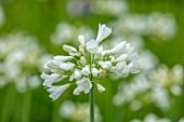 BROADLEIGH GARDENS SOMERSET: PLANT PORTRAIT OF THE WHITE FLOWERS OF AGAPANTHUS AIMEE. FLOWERS, SUMMER, BULBS, FLOWERING, HERBACEOUS, PERENNIALS, AFRICAN LILY
