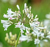 BROADLEIGH GARDENS SOMERSET: PLANT PORTRAIT OF THE WHITE, PINK FLOWERS OF AGAPANTHUS GLACIER STREAM. FLOWERS, SUMMER, BULBS, FLOWERING, HERBACEOUS, PERENNIALS, AFRICAN LILY