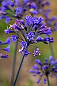 BROADLEIGH GARDENS SOMERSET: PLANT PORTRAIT OF THE PURPLE FLOWERS OF AGAPANTHUS KOBOLD. FLOWERS, SUMMER, BULBS, FLOWERING, HERBACEOUS, PERENNIALS, AFRICAN LILY