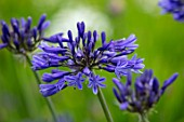 BROADLEIGH GARDENS SOMERSET: PLANT PORTRAIT OF THE PURPLE FLOWERS OF AGAPANTHUS MIDNIGHT STAR. FLOWERS, SUMMER, BULBS, FLOWERING, HERBACEOUS, PERENNIALS, AFRICAN LILY