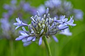 BROADLEIGH GARDENS SOMERSET: PLANT PORTRAIT OF THE BLUE FLOWERS OF AGAPANTHUS STORM CLOUD. FLOWERS, SUMMER, BULBS, FLOWERING, HERBACEOUS, PERENNIALS, AFRICAN LILY