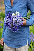 BROADLEIGH GARDENS SOMERSET: GIRL HOLDING CUT STEMS OF AGAPANTHUS, FIELD OF AGAPANTHUS. FLOWERS, FLOWERING, STILL, LIFE,BLUE, WHITE, GARDENER, LADY