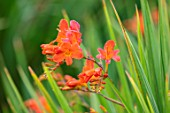 BROADLEIGH GARDENS SOMERSET: PLANT PORTRAIT OF ORANGE FLOWERS OF CROCOSMIA LIMPOPO. FLOWERING, PERENNIALS, HERBACEOUS, SUMMER, JULY