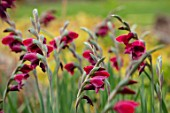 BROADLEIGH GARDENS SOMERSET: PLANT PORTRAIT OF DARK, DEEP, RED, FLOWERS OF GLADIOLUS PAPILIO RUBY. FLOWERING, PERENNIALS, HERBACEOUS, SUMMER, JULY, PETALS