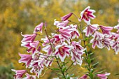 BROADLEIGH GARDENS SOMERSET: PLANT PORTRAIT OF PINK, WHITE FLOWERS OF LILY - LILIUM FRISO . FLOWERING, BULBS, SUMMER, JULY, PETALS, LILLIES