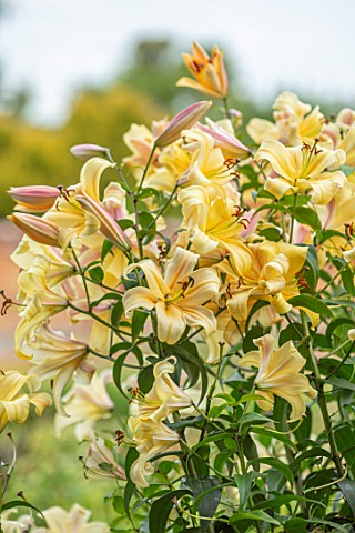 BROADLEIGH_GARDENS_SOMERSET_PLANT_PORTRAIT_OF_YELLOW_FLOWERS_OF_LILY__LILIUM_ORANIA_FLOWERING_BULBS_