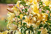 BROADLEIGH GARDENS SOMERSET: PLANT PORTRAIT OF YELLOW, FLOWERS OF LILY - LILIUM ORANIA. FLOWERING, BULBS, SUMMER, JULY, PETALS, LILLIES, FRAGRANT, ORIENPET, PALE, APRICOT
