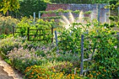 HAMPTON COURT CASTLE, HEREFORDSHIRE: THE KITCHEN GARDEN:  JULY, SUMMER, LAVENDER,WOODEN HURDLES
