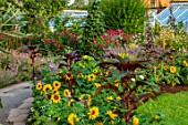 HAMPTON COURT CASTLE, HEREFORDSHIRE: THE KITCHEN GARDEN:  LAWN, SUNFLOWERS, JULY, SUMMER, LAVENDER, PATH, DAHLIAS, GREENHOUSES