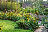 HAMPTON COURT CASTLE, HEREFORDSHIRE: THE KITCHEN GARDEN:  LAWN, SUNFLOWERS, JULY, SUMMER, LAVENDER, PATH