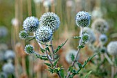 HAMPTON COURT CASTLE, HEREFORDSHIRE: PLANT PORTRAIT OF WHITE FLOWERS OF ECHINOPS BANNATICUS ALBUS. SPHERE, GLOBE, THISTLE