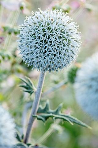 HAMPTON_COURT_CASTLE_HEREFORDSHIRE_PLANT_PORTRAIT_OF_WHITE_FLOWERS_OF_ECHINOPS_BANNATICUS_ALBUS_SPHE