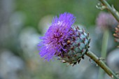 HAMPTON COURT CASTLE, HEREFORDSHIRE: PLANT PORTRAIT OF PURPLE FLOWER OF ARTICHOKE. CYNARA CARDUNCULUS. THISTLES, PURPLE, FLOWERING, BLOOMS, CARDOONS