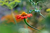 HAMPTON COURT CASTLE, HEREFORDSHIRE: PLANT PORTRAIT OF ORANGE FLOWERS OF TITHONIA ROTUNDIFOLIA - MEXICAN SUNFLOWER., RED, ORANGE, PERENNIALS