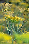 HAMPTON COURT CASTLE, HEREFORDSHIRE: PLANT PORTRAIT OF YELLOW FLOWERS OF SWEET FENNEL - FOENICULUM VULGARE, HERBS, FLOWERING, PETALS, TASTE, FRAGRANT