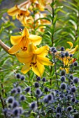 HAMPTON COURT CASTLE, HEREFORDSHIRE: BLUE ERYNGIUMS AND LILIUM AFRICAN QUEEN IN BORDER. PLANT COMBINATION, ASSOCIATION, ORANGE, HERBACEOUS, BULBS