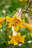 HAMPTON COURT CASTLE, HEREFORDSHIRE: LILIUM AFRICAN QUEEN IN BORDER. ORANGE, SUMMER, TRUMPET, LILIES, BULBS, FRAGRANT