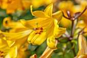 HAMPTON COURT CASTLE, HEREFORDSHIRE: PLANT PORTRAIT OF YELLOW, ORANGE LILIUM IN BORDER. ORANGE, SUMMER, TRUMPET, LILIES, BULBS, FRAGRANT