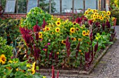 MORTON HALL GARDENS, WORCESTERSHIRE: KITCHEN GARDEN, BORDER WITH SUNFLOWERS, AMARANTHUS PYGMY TORCH, JULY, BORDERS, KITCHEN, GREENHOUSES