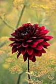 MORTON HALL, WORCESTERSHIRE: PLANT COMBINATION, ASSOCIATION - DAHLIA KARMA CHOC AND FOENICULUM VULGARE GIANT BRONZE, YELLOW, BROWN, DARK, RED