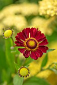 MORTON HALL, WORCESTERSHIRE: PLANT PORTRAIT OF RED, ORANGE, FLOWERS OF HELENIUM INDIAN SUMMER. PERENNIALS, SNEEZEWEED, INDIANERSOMMER, JULY